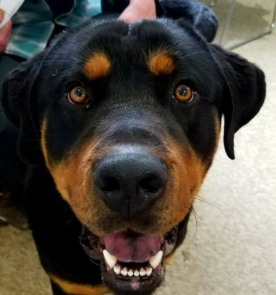 Adopt Hoss From Real Rottweiler Rescue Dog Life In Cle